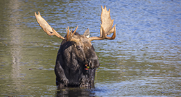 PRIME MOOSE VIEWING TIME