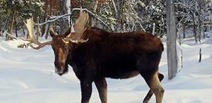 Moose Viewing Spring